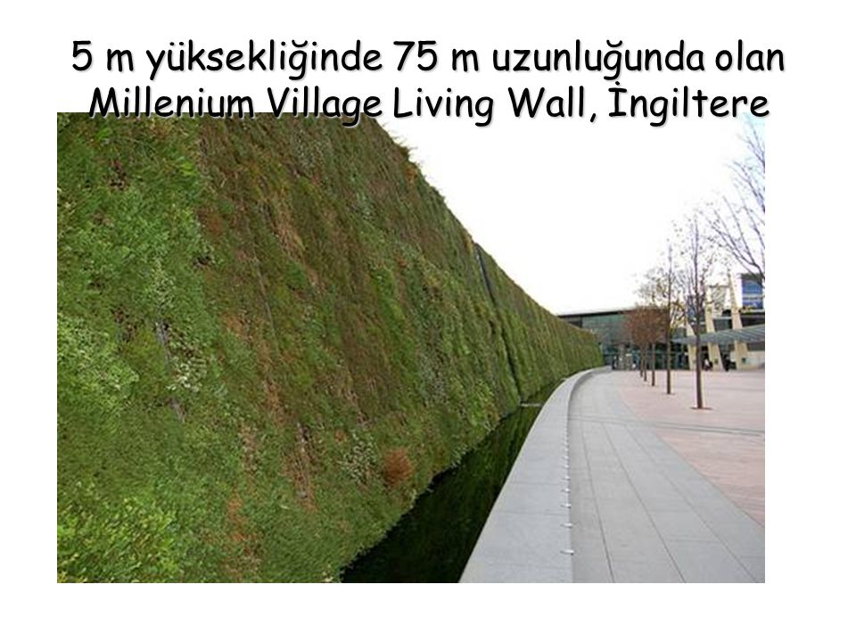 5 m yüksekliğinde 75 m uzunluğunda olan Millenium Village Living Wall, İngiltere