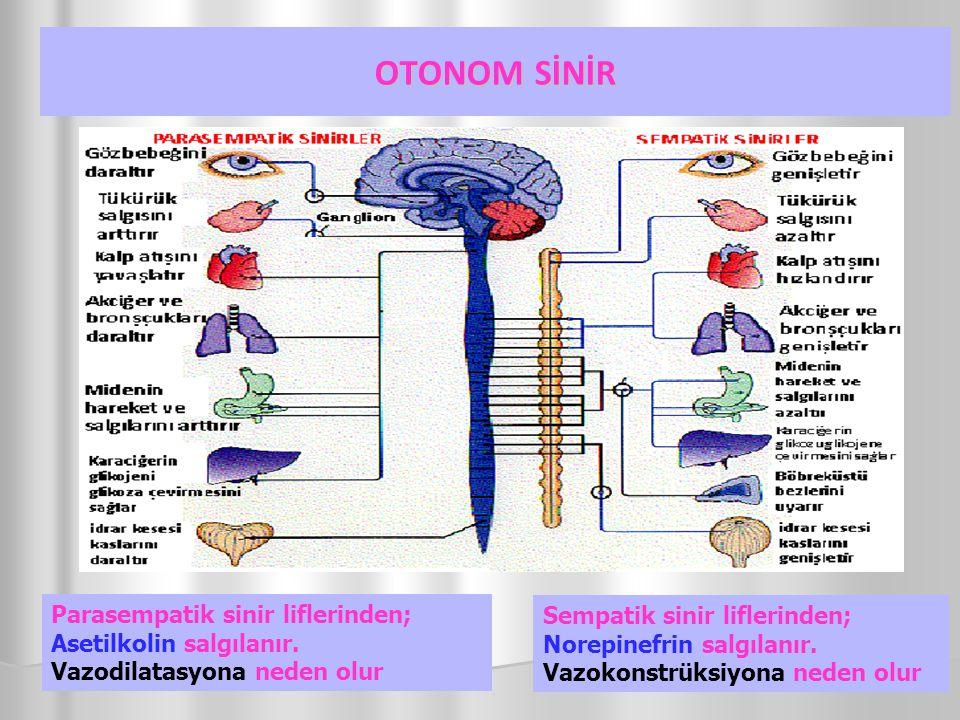 OTONOM SİNİR Parasempatik sinir liflerinden; Asetilkolin salgılanır. Vazodilatasyona neden olur.