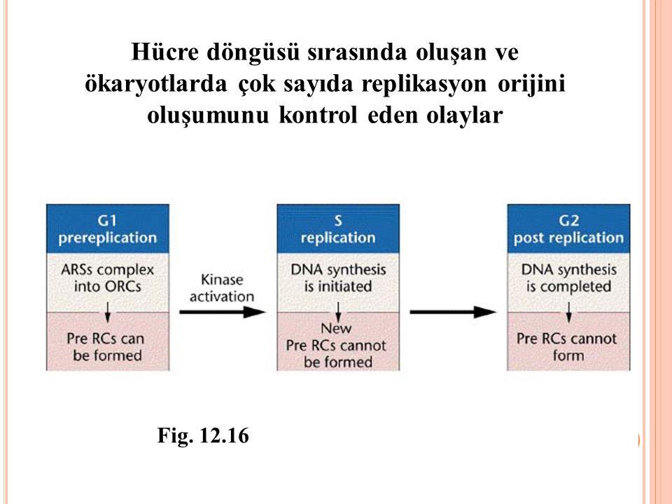 Hücre döngüsü sırasında oluşan ve ökaryotlarda çok sayıda replikasyon orijini oluşumunu kontrol eden olaylar