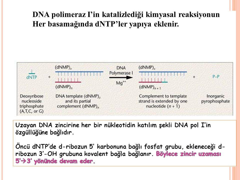 DNA polimeraz I'in katalizlediği kimyasal reaksiyonun