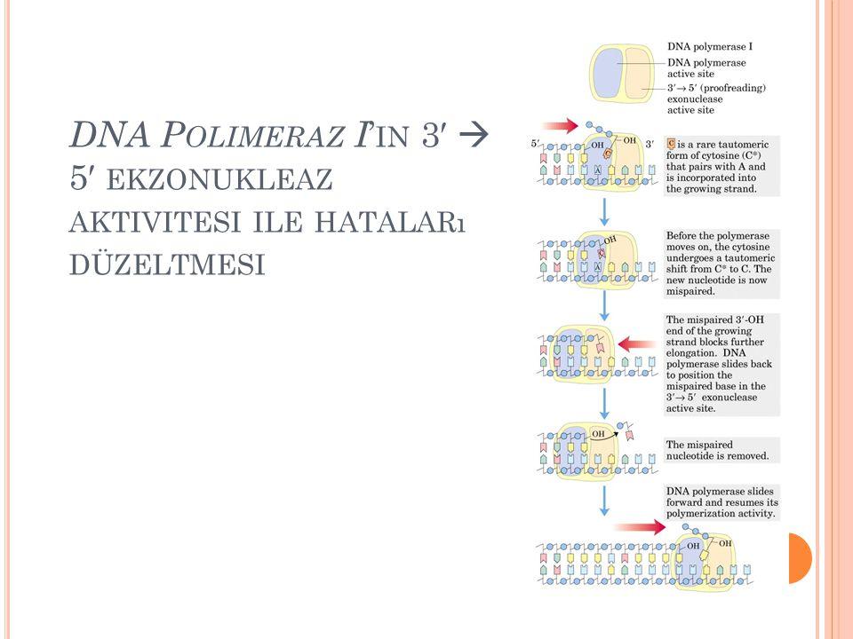 DNA Polimeraz I'in 3′  5′ ekzonukleaz aktivitesi ile hataları düzeltmesi