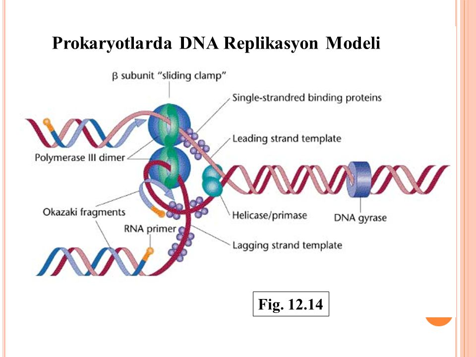 Prokaryotlarda DNA Replikasyon Modeli