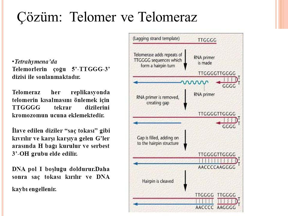 Çözüm: Telomer ve Telomeraz