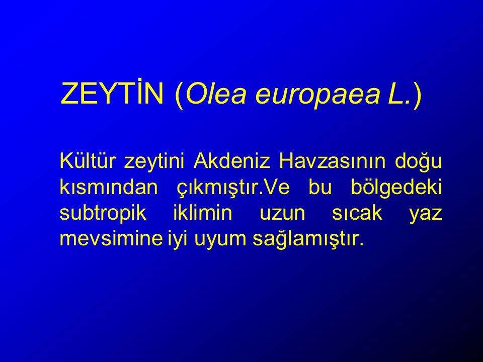 ZEYTİN (Olea europaea L.)