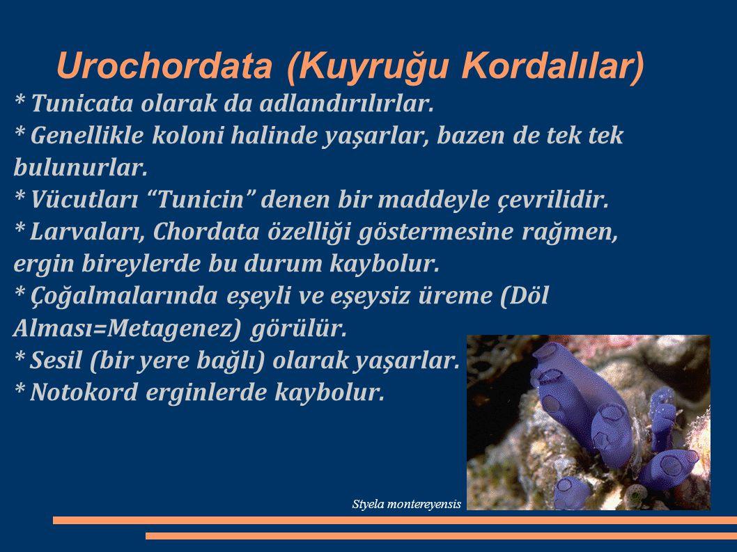 Urochordata (Kuyruğu Kordalılar)