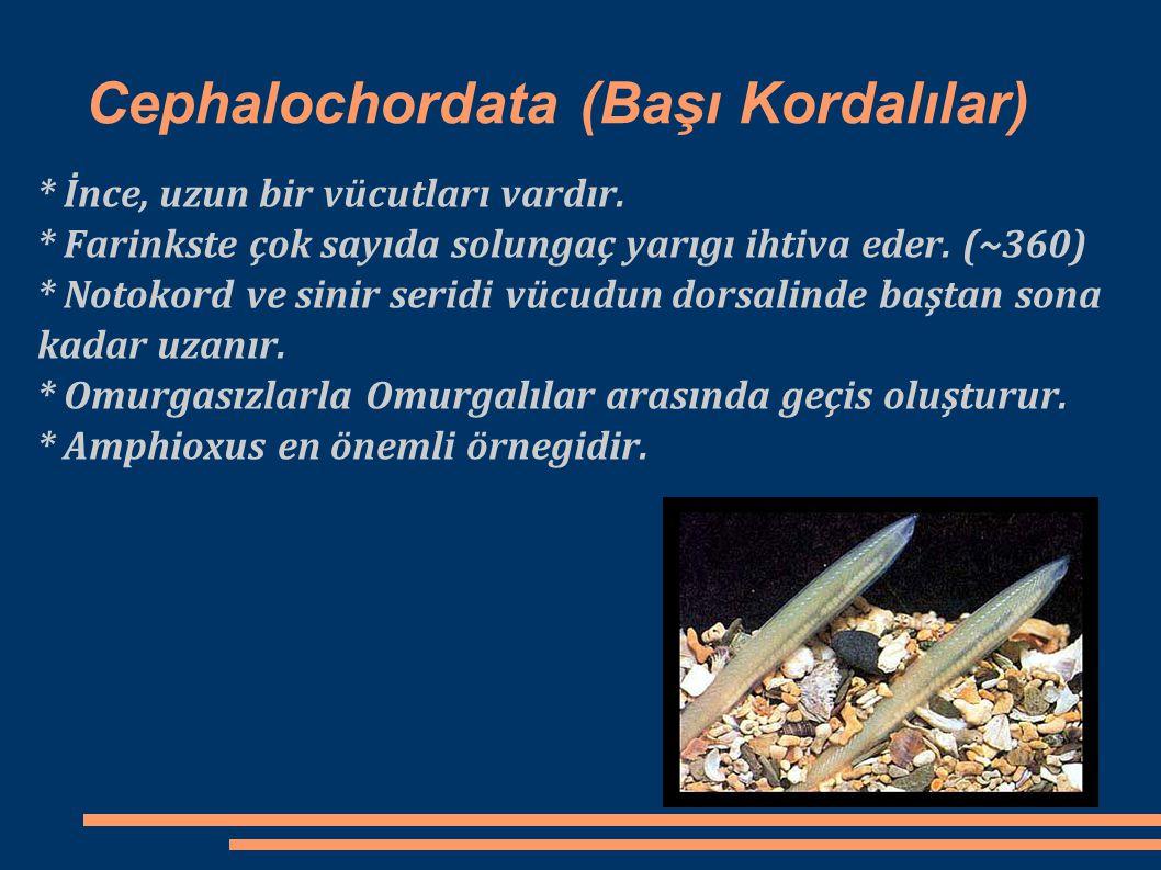 Cephalochordata (Başı Kordalılar)