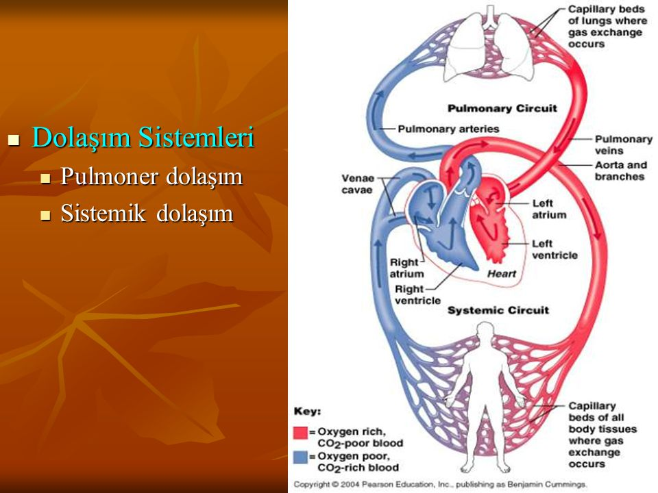 Dolaşım Sistemleri Pulmoner dolaşım Sistemik dolaşım