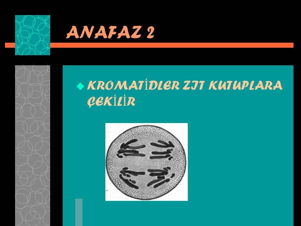 ANAFAZ 2 KROMATİDLER ZIT KUTUPLARA ÇEKİLİR