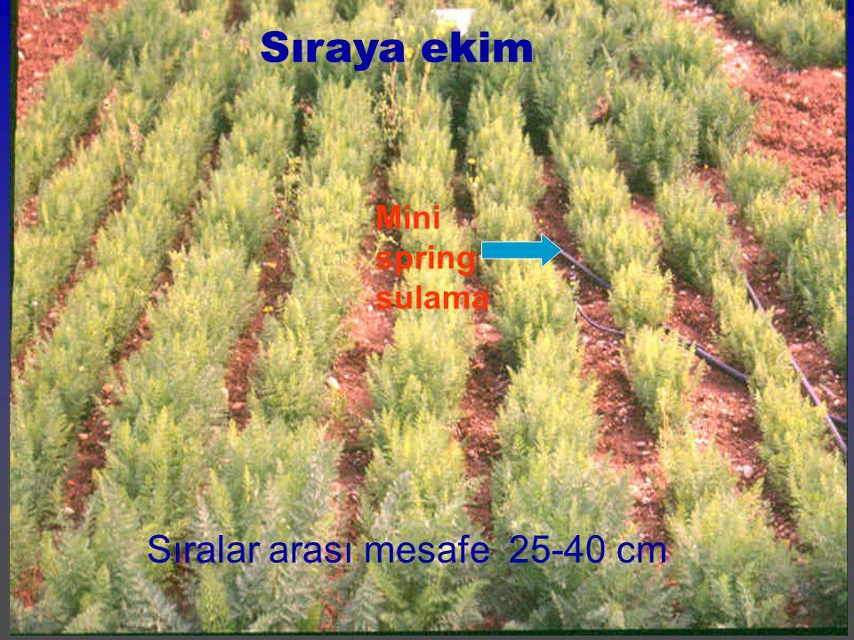 Sıraya ekim Mini spring sulama Sıralar arası mesafe 25-40 cm