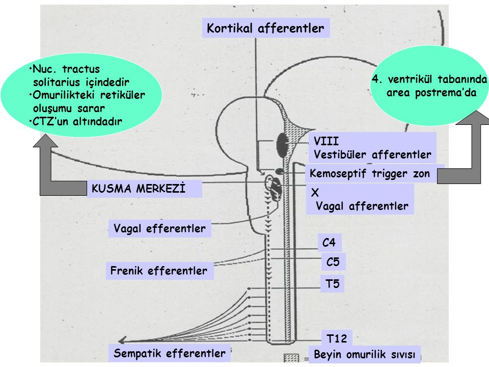 Kortikal afferentler Nuc. tractus 4. ventrikül tabanında
