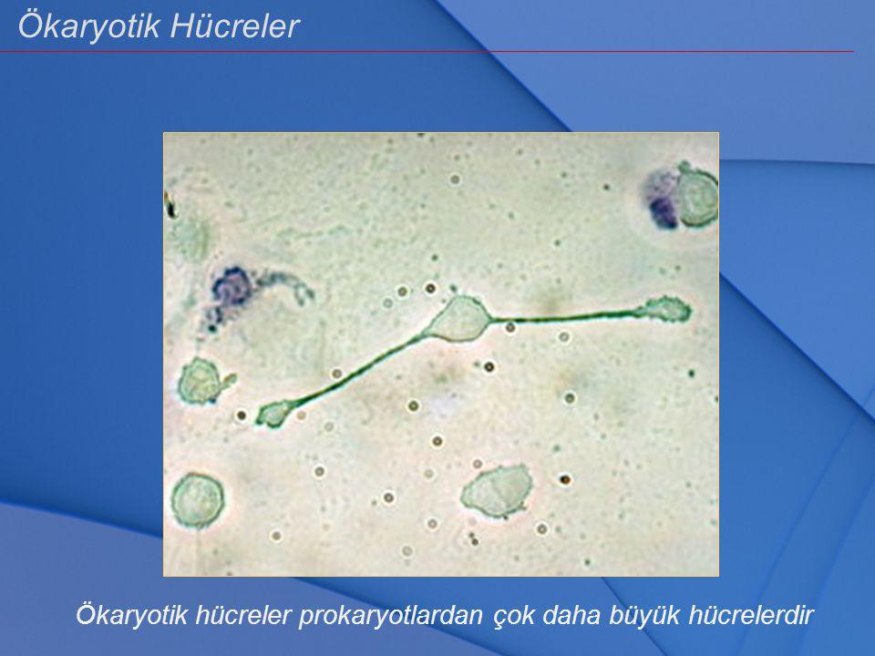 Ökaryotik hücreler prokaryotlardan çok daha büyük hücrelerdir