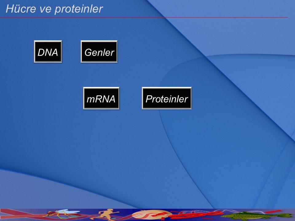 Hücre ve proteinler DNA Genler mRNA Proteinler