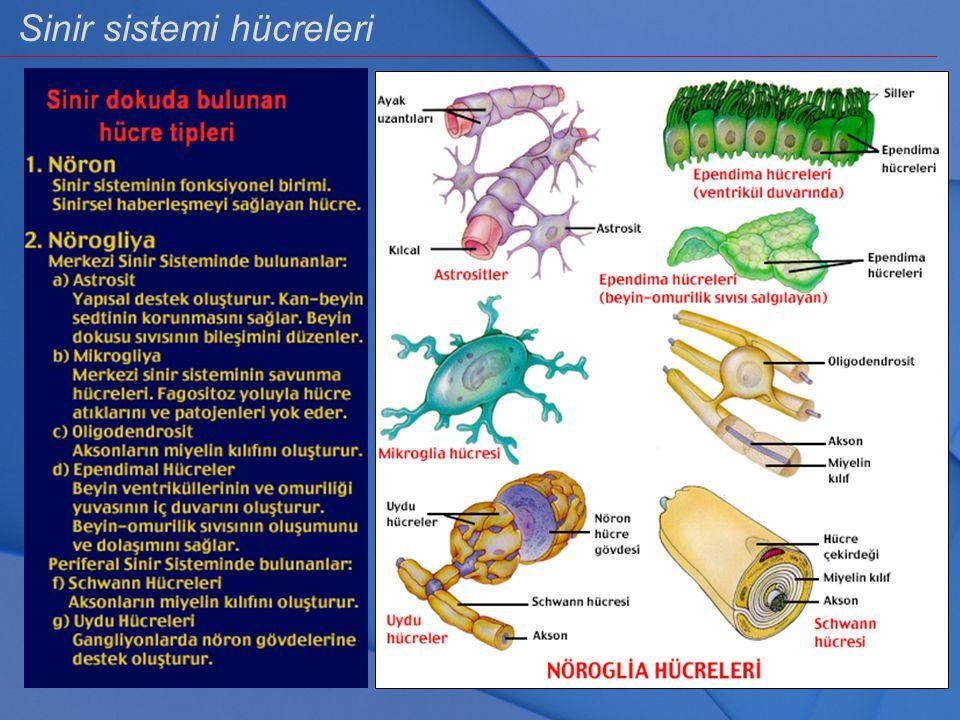 Sinir sistemi hücreleri