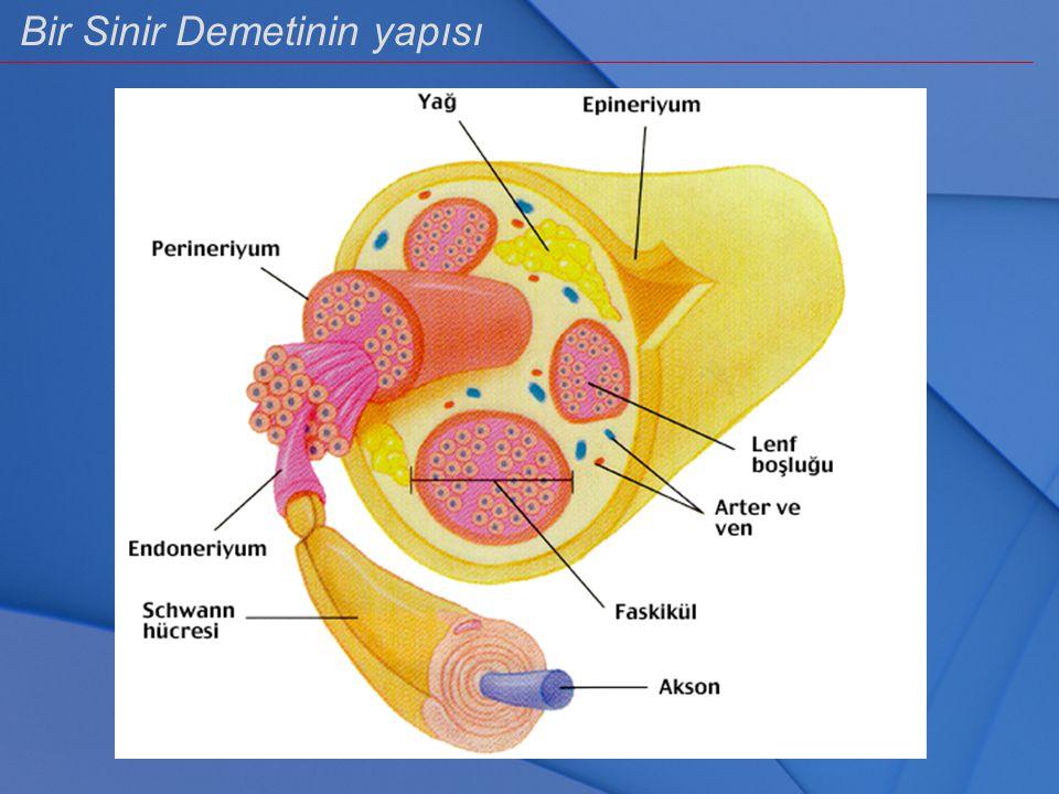 Bir Sinir Demetinin yapısı