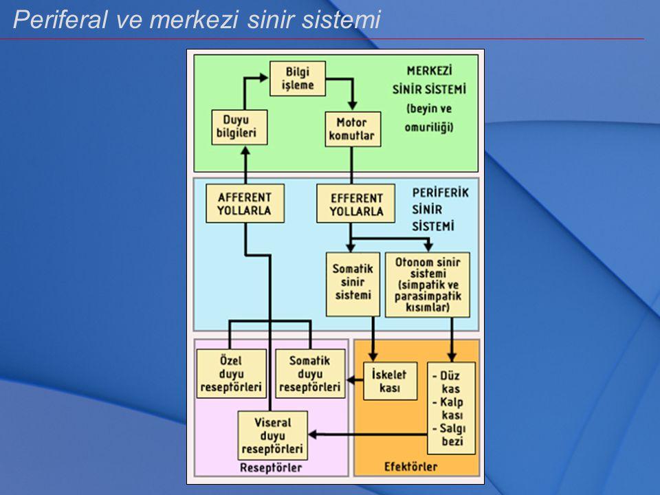 Periferal ve merkezi sinir sistemi