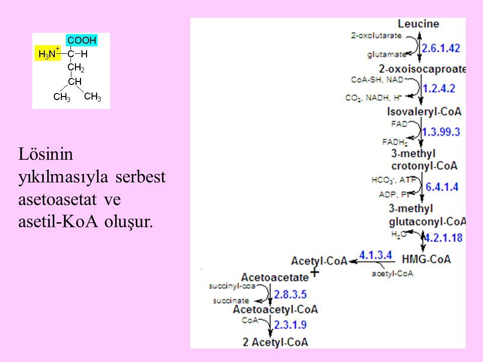 Lösinin yıkılmasıyla serbest asetoasetat ve asetil-KoA oluşur.
