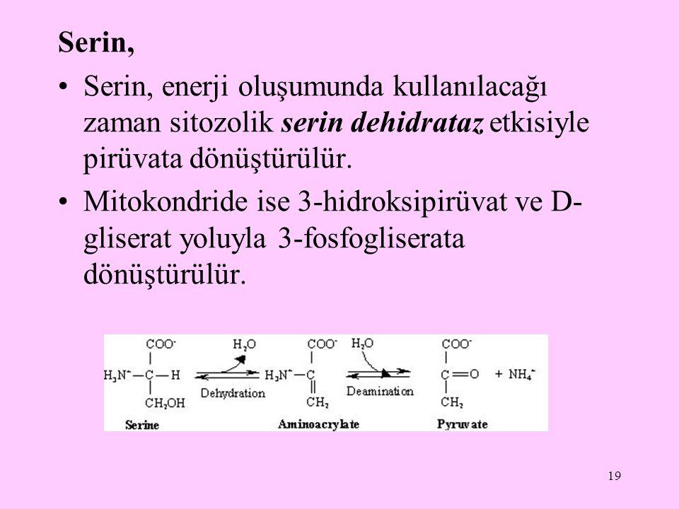 Serin, Serin, enerji oluşumunda kullanılacağı zaman sitozolik serin dehidrataz etkisiyle pirüvata dönüştürülür.