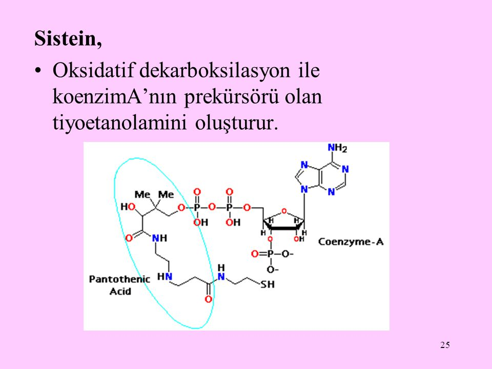 Sistein, Oksidatif dekarboksilasyon ile koenzimA'nın prekürsörü olan tiyoetanolamini oluşturur.