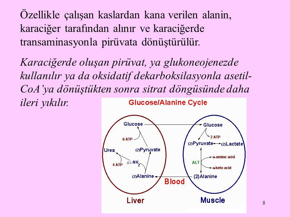 Özellikle çalışan kaslardan kana verilen alanin, karaciğer tarafından alınır ve karaciğerde transaminasyonla pirüvata dönüştürülür.