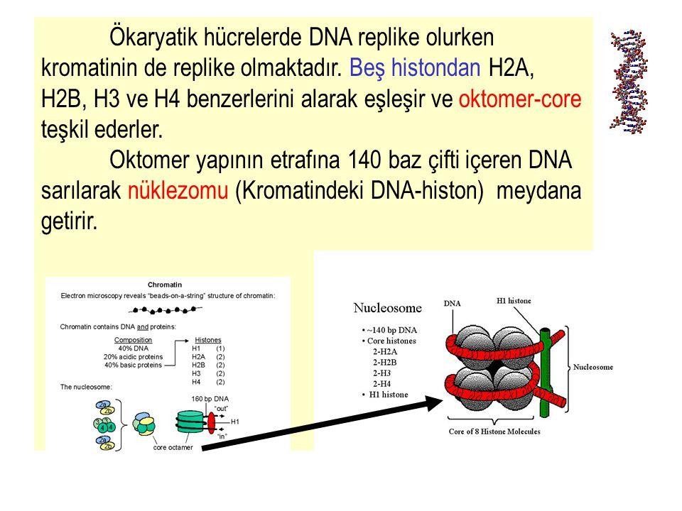 Ökaryatik hücrelerde DNA replike olurken kromatinin de replike olmaktadır. Beş histondan H2A, H2B, H3 ve H4 benzerlerini alarak eşleşir ve oktomer-core teşkil ederler.