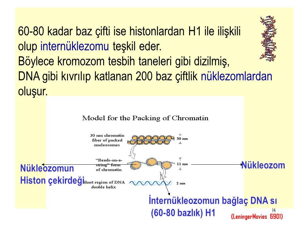 60-80 kadar baz çifti ise histonlardan H1 ile ilişkili