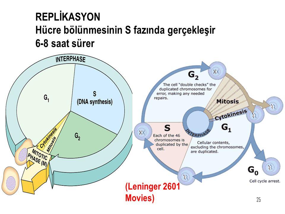Hücre bölünmesinin S fazında gerçekleşir 6-8 saat sürer