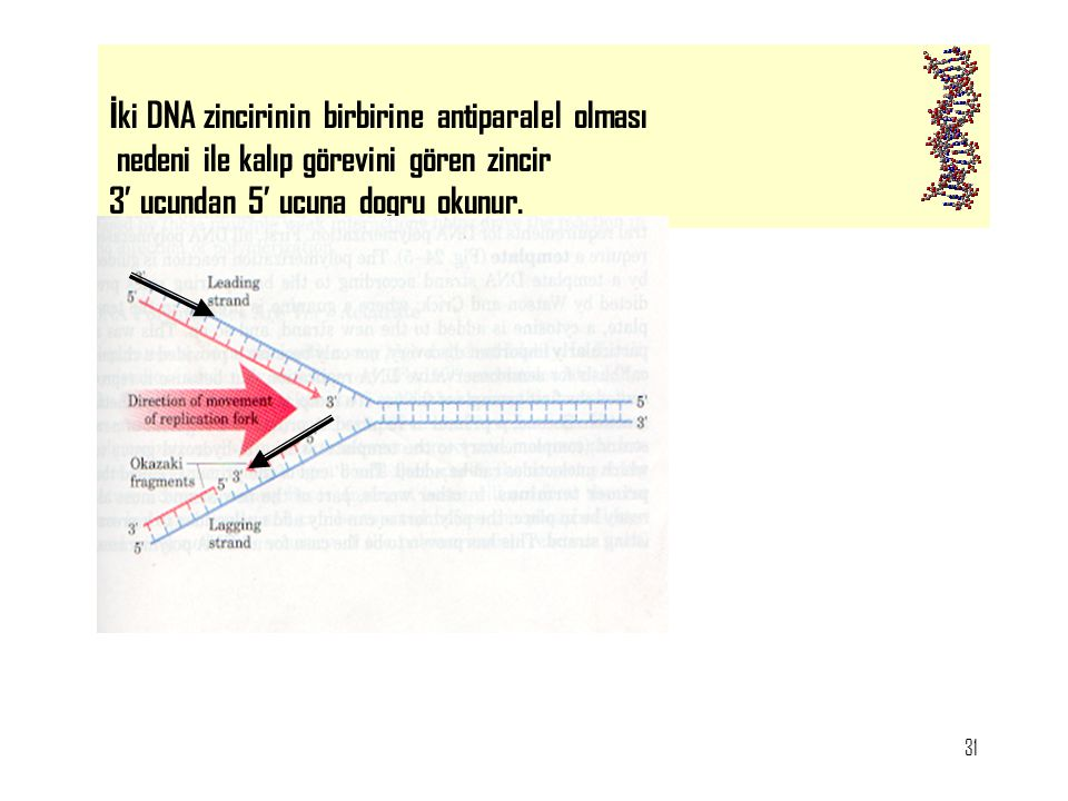İki DNA zincirinin birbirine antiparalel olması