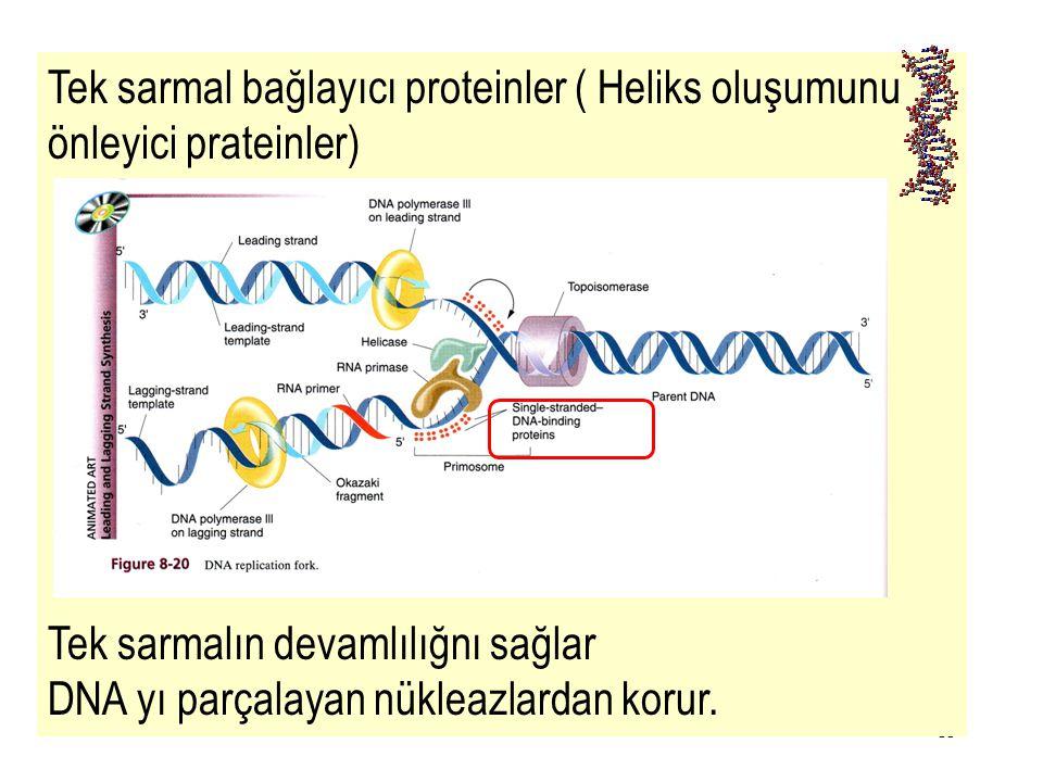 Tek sarmal bağlayıcı proteinler ( Heliks oluşumunu önleyici prateinler)
