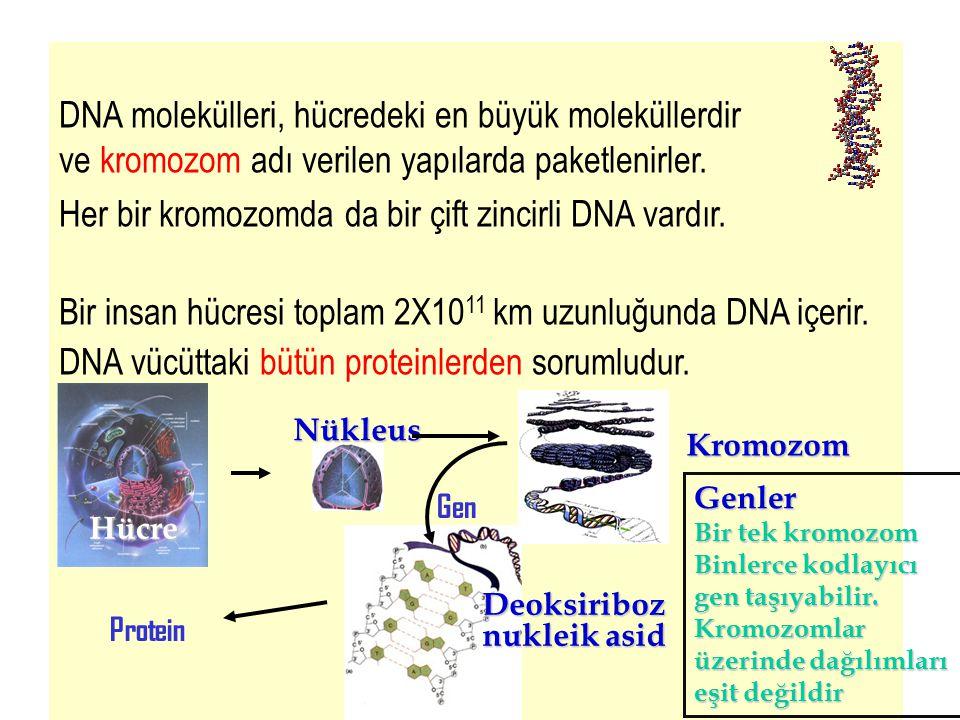 DNA molekülleri, hücredeki en büyük moleküllerdir