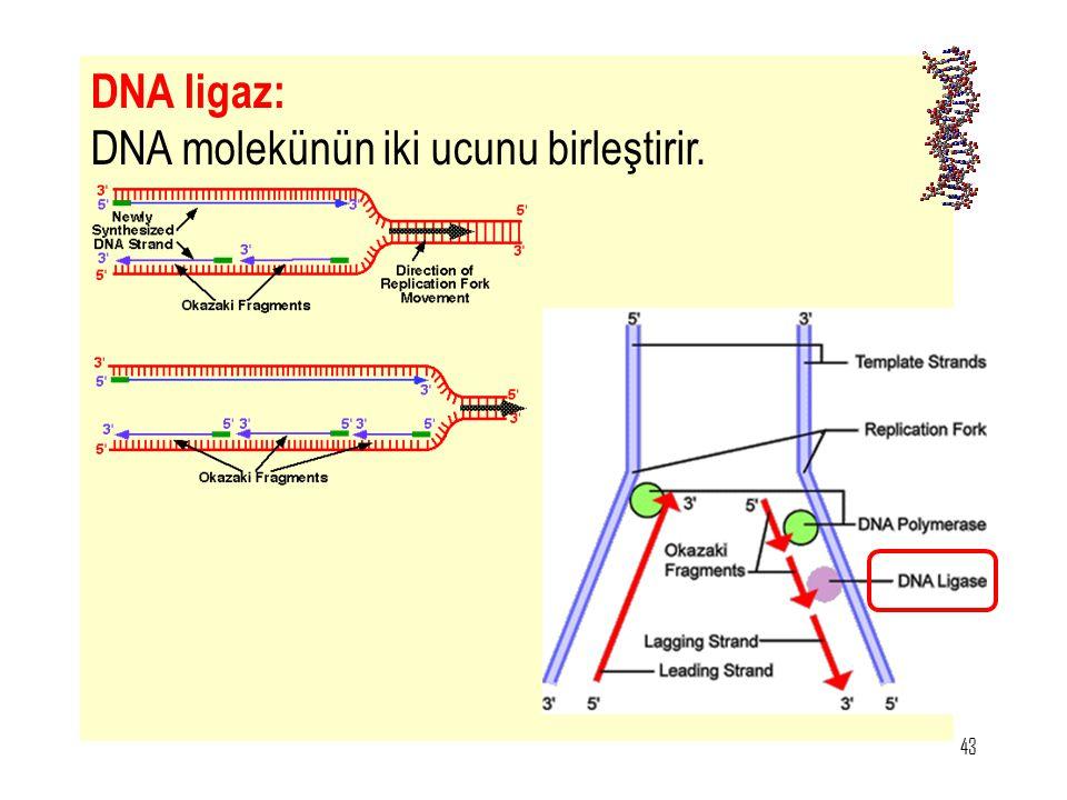 DNA ligaz: DNA molekünün iki ucunu birleştirir.