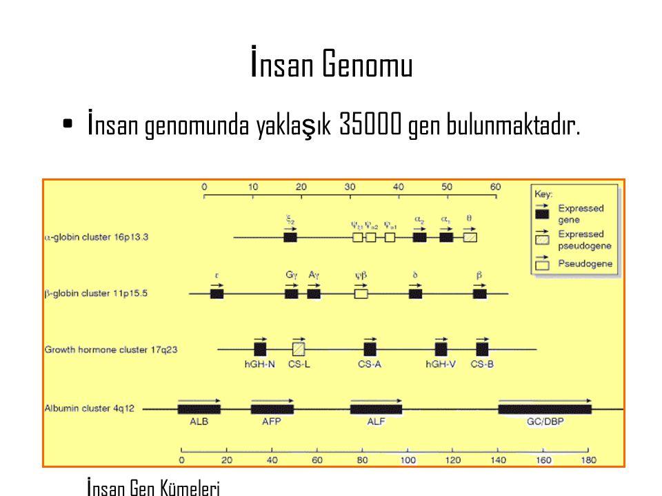 İnsan Genomu İnsan genomunda yaklaşık 35000 gen bulunmaktadır.