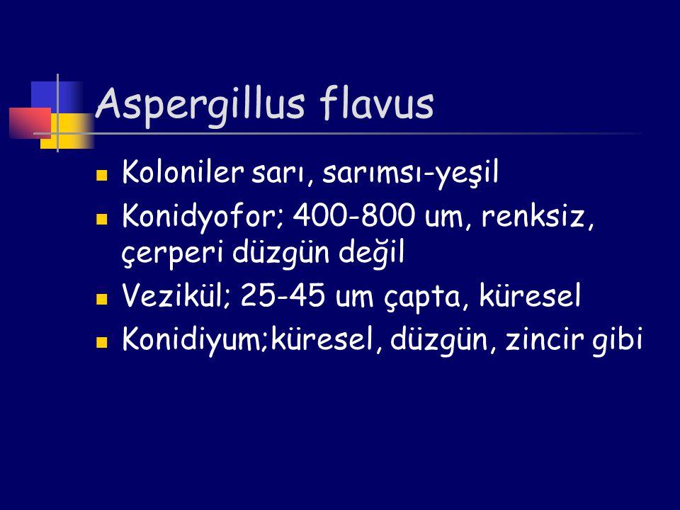 Aspergillus flavus Koloniler sarı, sarımsı-yeşil