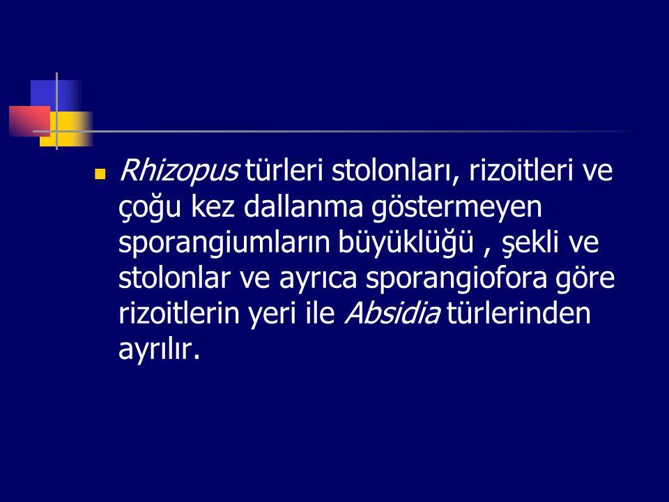 Rhizopus türleri stolonları, rizoitleri ve çoğu kez dallanma göstermeyen sporangiumların büyüklüğü , şekli ve stolonlar ve ayrıca sporangiofora göre rizoitlerin yeri ile Absidia türlerinden ayrılır.
