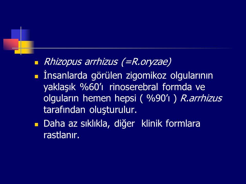 Rhizopus arrhizus (=R.oryzae)
