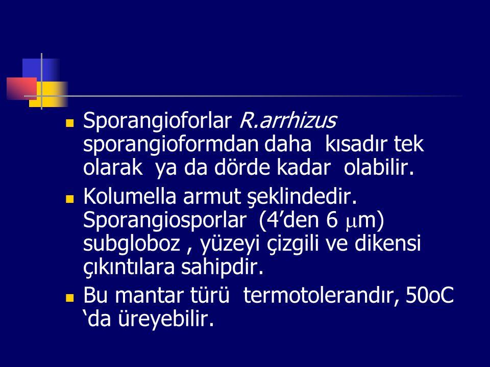 Sporangioforlar R.arrhizus sporangioformdan daha kısadır tek olarak ya da dörde kadar olabilir.