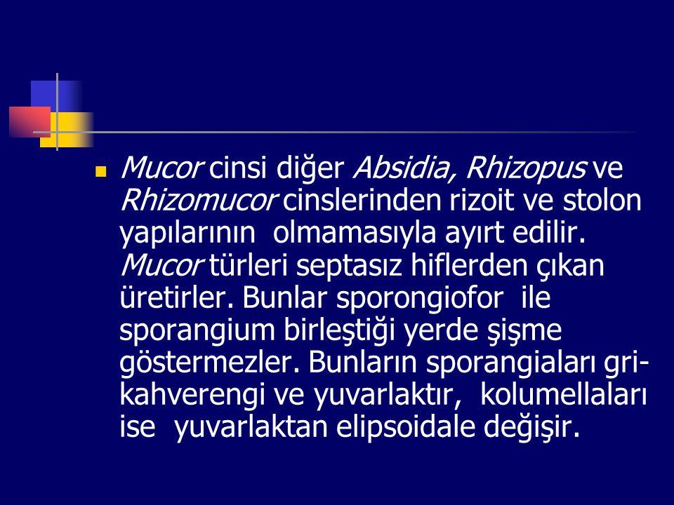Mucor cinsi diğer Absidia, Rhizopus ve Rhizomucor cinslerinden rizoit ve stolon yapılarının olmamasıyla ayırt edilir.