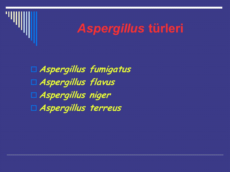 Aspergillus türleri Aspergillus fumigatus Aspergillus flavus