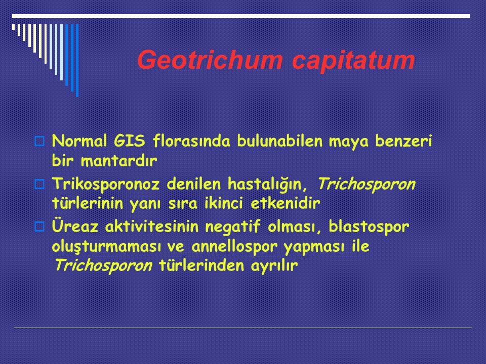 Geotrichum capitatum Normal GIS florasında bulunabilen maya benzeri bir mantardır.