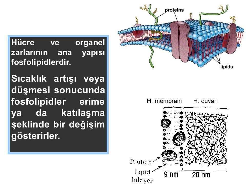 Hücre ve organel zarlarının ana yapısı fosfolipidlerdir.