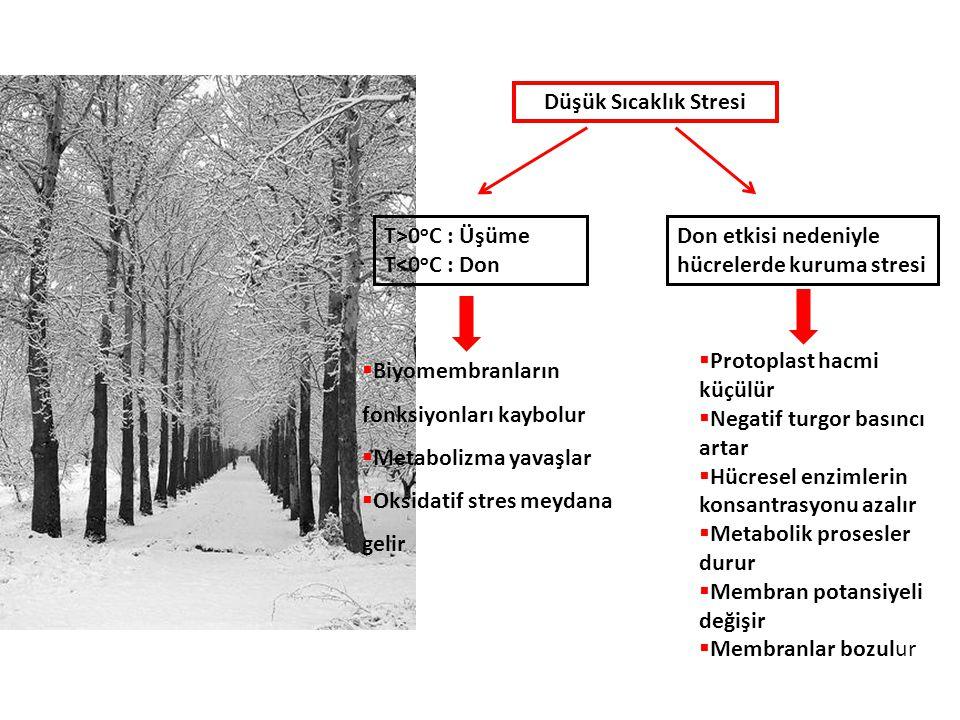 Düşük Sıcaklık Stresi T>0oC : Üşüme. T<0oC : Don. Don etkisi nedeniyle hücrelerde kuruma stresi. Biyomembranların fonksiyonları kaybolur.