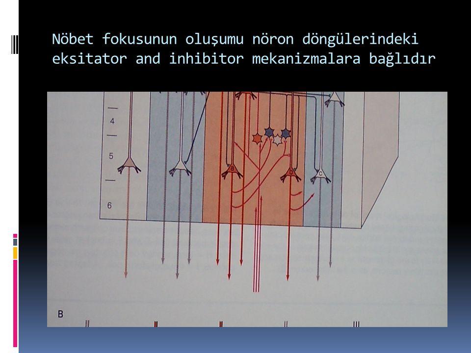 Nöbet fokusunun oluşumu nöron döngülerindeki eksitator and inhibitor mekanizmalara bağlıdır