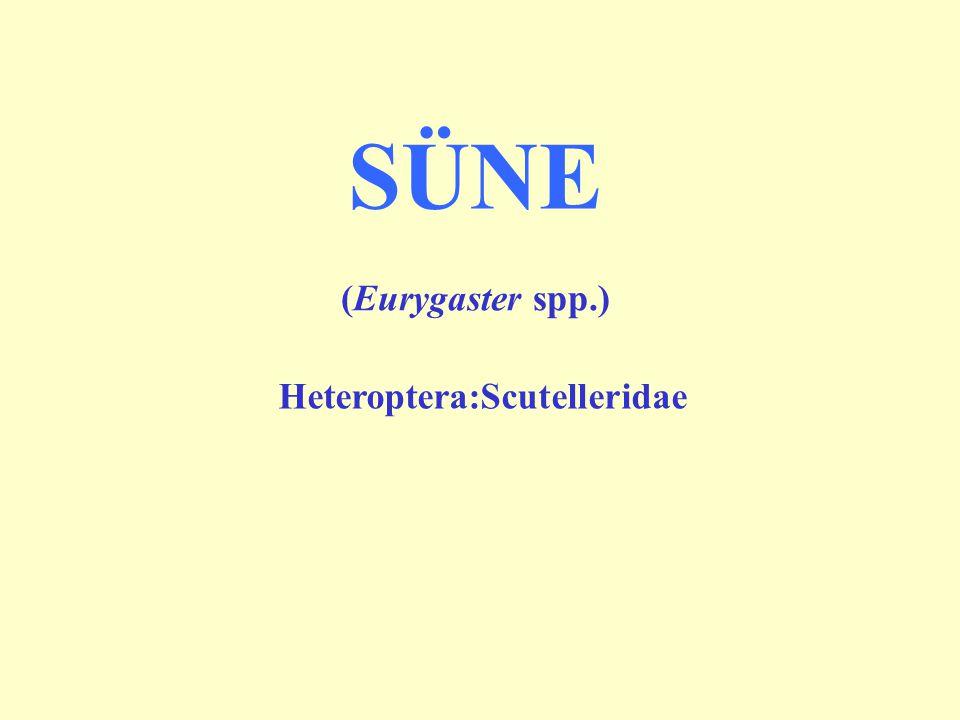 Heteroptera:Scutelleridae