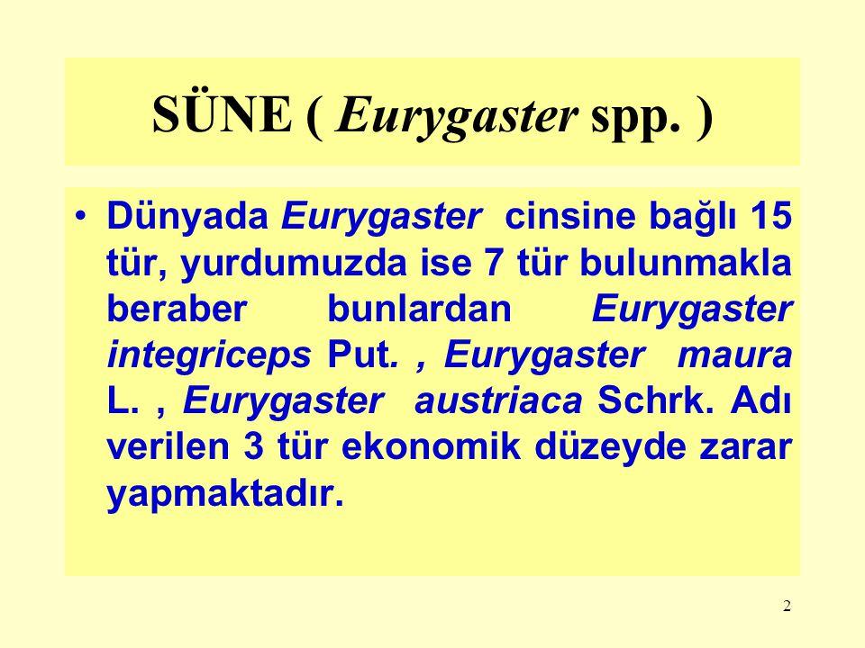 SÜNE ( Eurygaster spp. )
