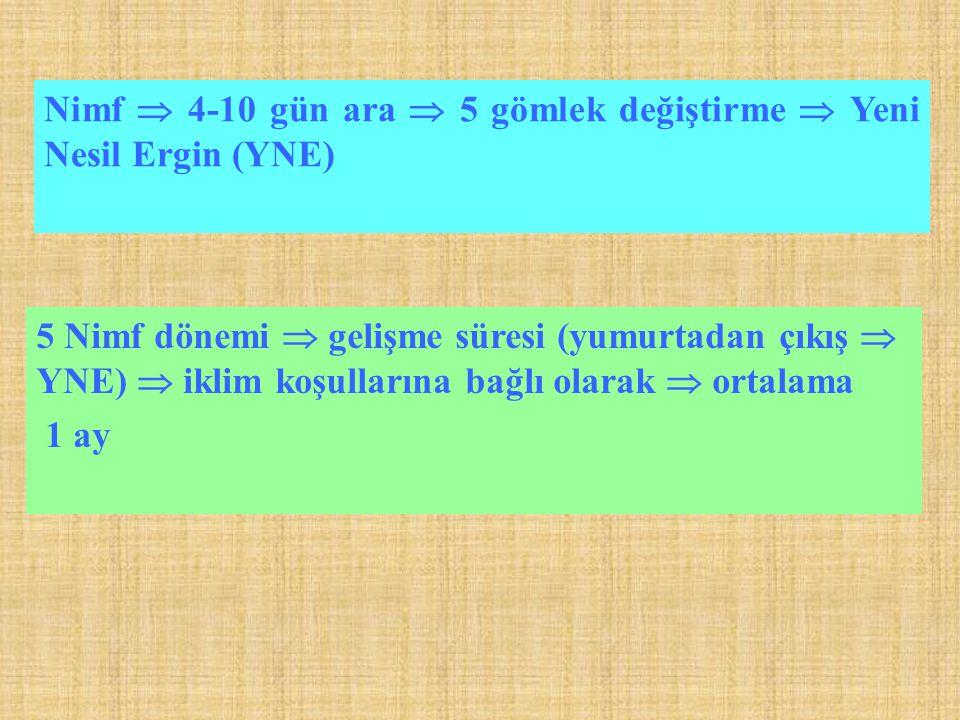 Nimf  4-10 gün ara  5 gömlek değiştirme  Yeni Nesil Ergin (YNE)