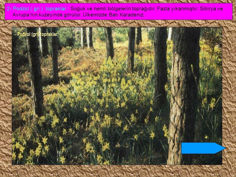 2- Podzol ( gri ) topraklar : Soğuk ve nemli bölgelerin toprağıdır
