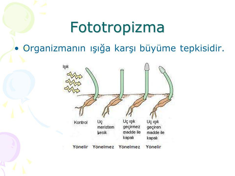 Fototropizma Organizmanın ışığa karşı büyüme tepkisidir.