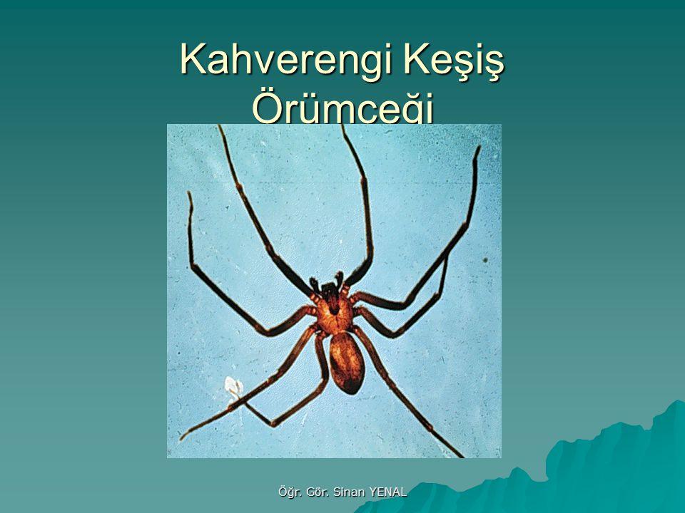 Kahverengi Keşiş Örümceği