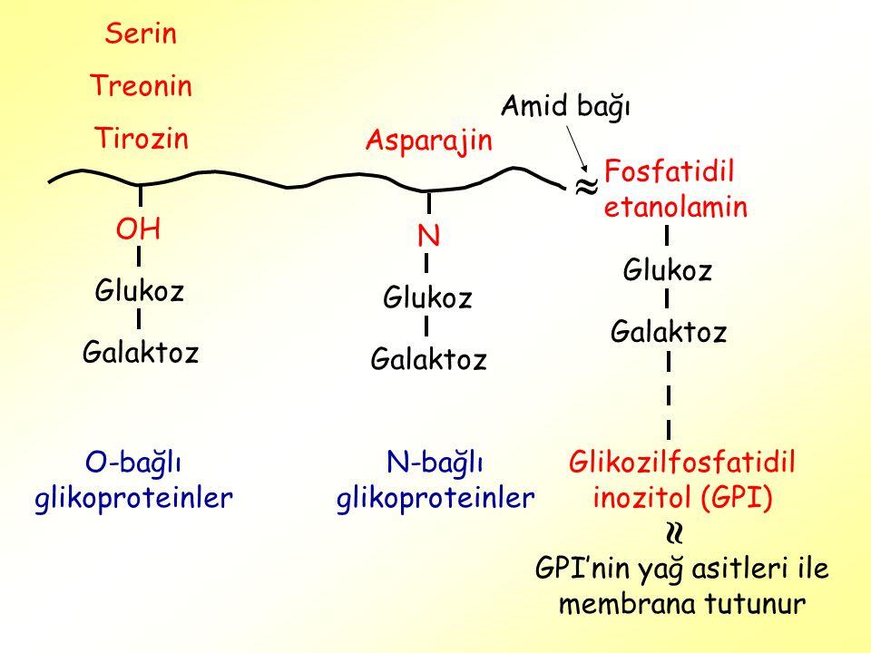   Serin Treonin Tirozin Amid bağı Asparajin Fosfatidil etanolamin OH