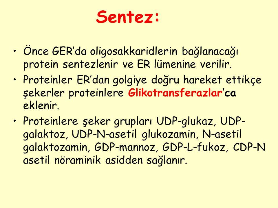 Sentez: Önce GER'da oligosakkaridlerin bağlanacağı protein sentezlenir ve ER lümenine verilir.