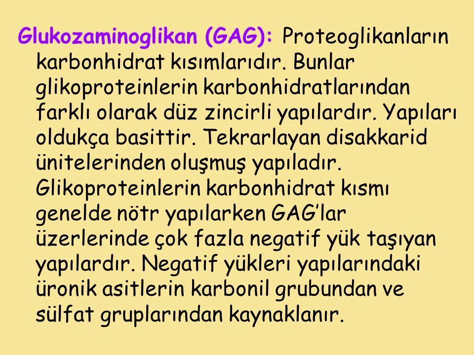 Glukozaminoglikan (GAG): Proteoglikanların karbonhidrat kısımlarıdır